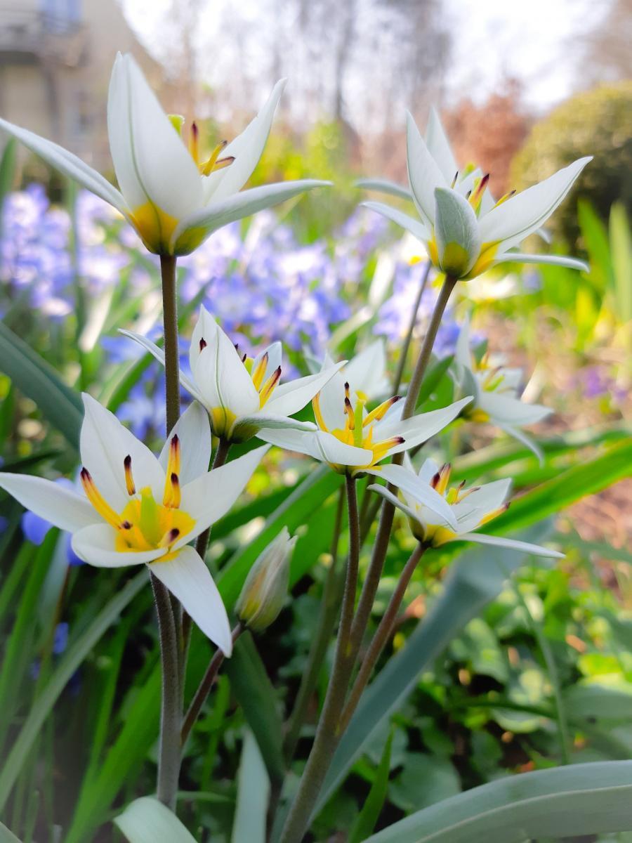 Fotot af tulipa turkestanica